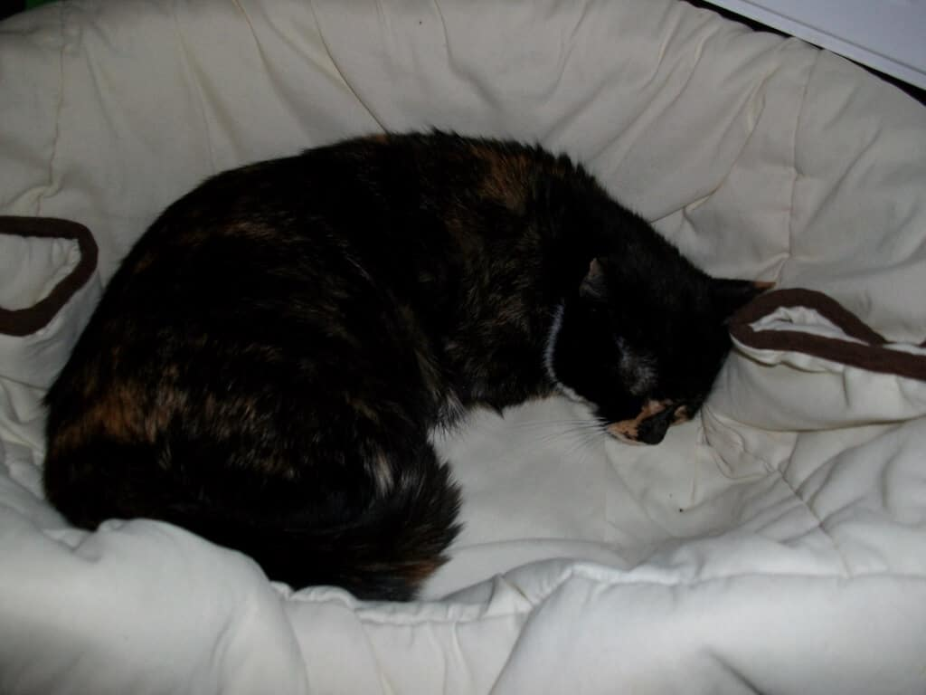 Geschwächte Mutterkatze nach der OP