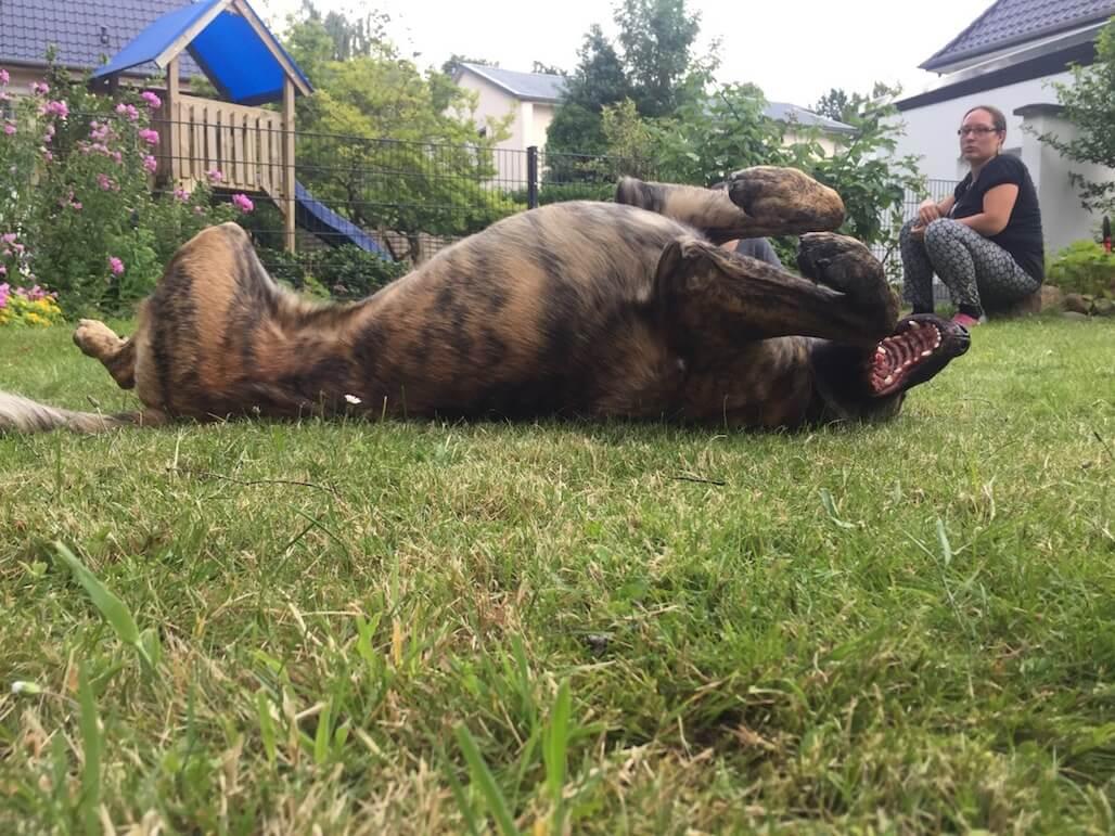 Ein Hund wälzt sich auf der Wiese in einem Garten. Damit dein Hund lange fit und gesund bleibt, sollte man eine Futterumstellung ernst nehmen.