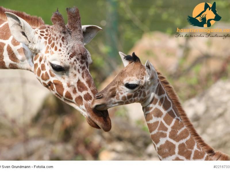 Giraffennachwuchs Carlo im Freigehege Nuernberg