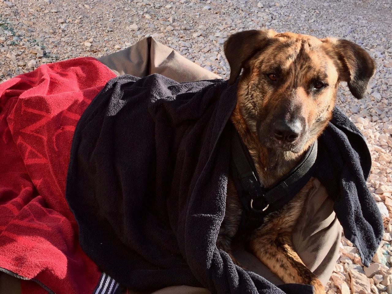 Ein nasser Hund liegt in ein rotes und ein schwarzes Handtuch gewickelt in einem Hundekörbchen und schaut in die Kamera