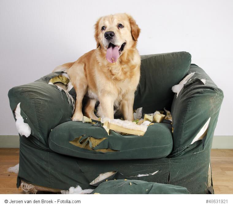 Goldies demolieren Möbel nur, wenn du sie zu lange allein lässt und ihnen langweilig ist