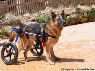 Ein Schäferhund mit seinem Rollwagen war schwimmen