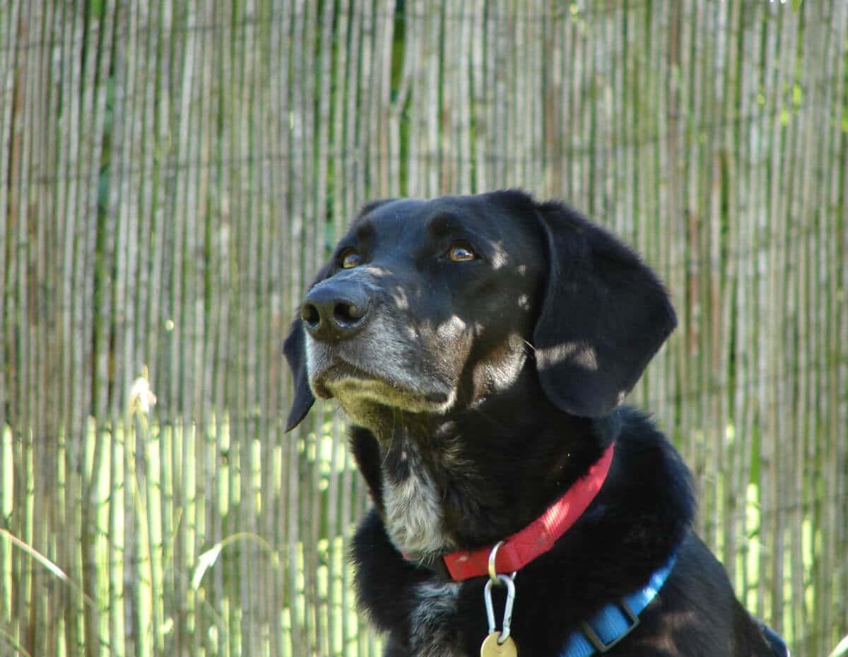 Profilfoto eines braunen Jagdhund-Retriever-Mischlings
