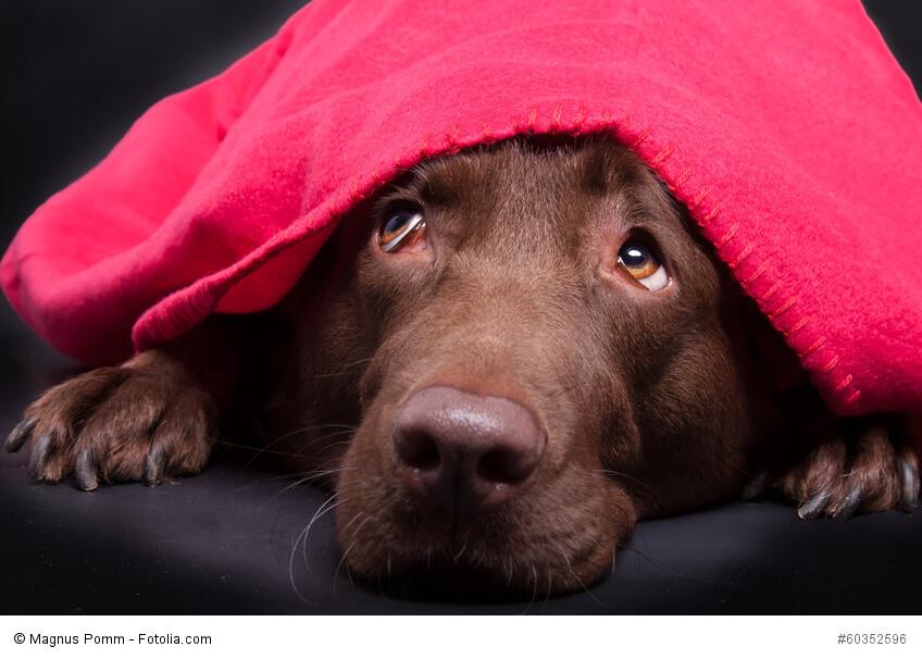 Verängstigter Labrador unter einer roten Decke