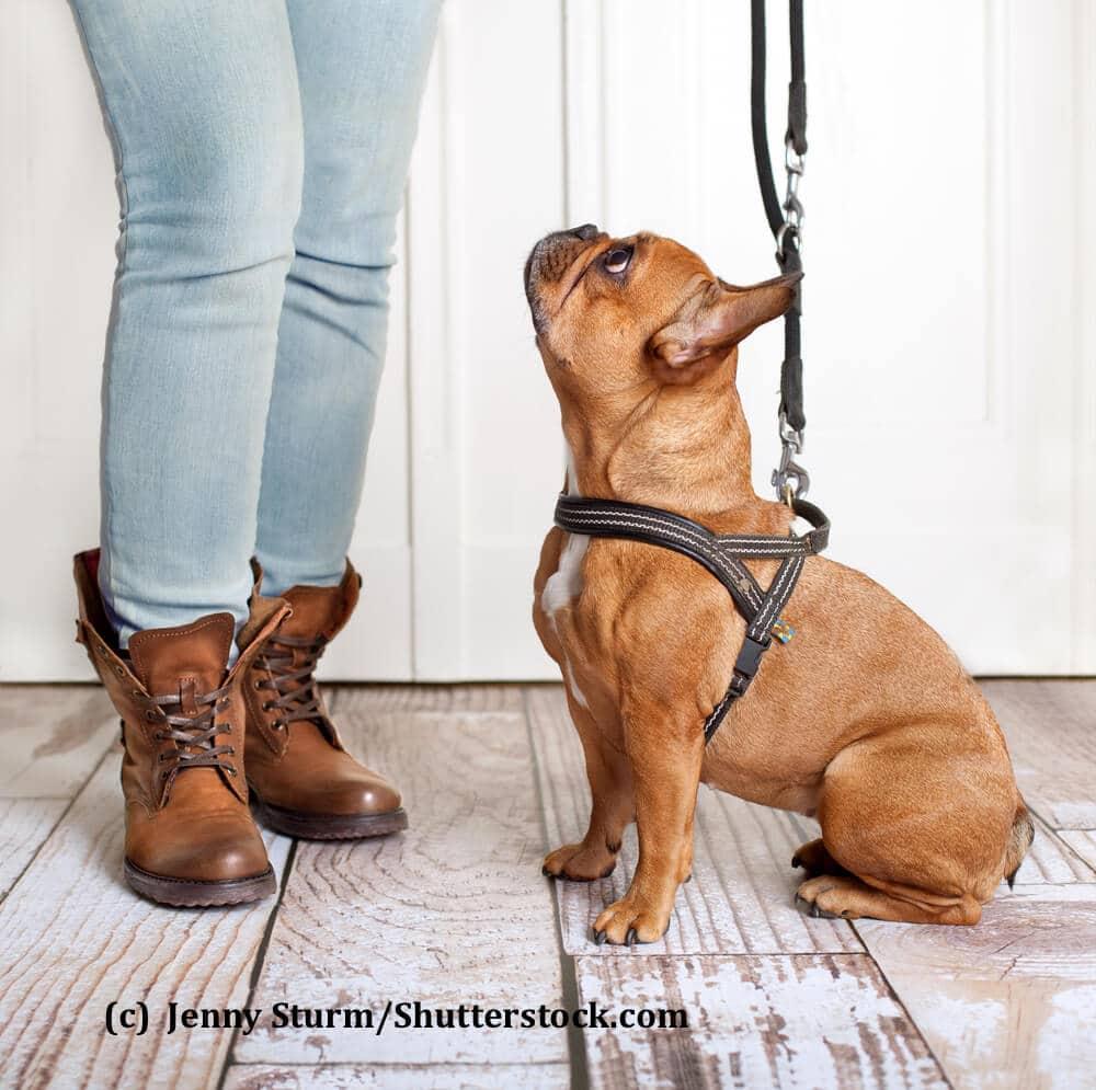 Eine französische Bulldogge sitzt mit einem Geschirr zu Füßen seines Frauchen und schaut erwartungsvoll