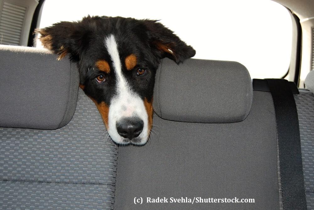 Ein Hund lässt traurig seinen Kopf über die Rückenlehne eines Autos hängen