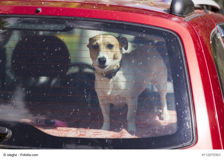 Jack Russell Terrier auf Kofferraumablage