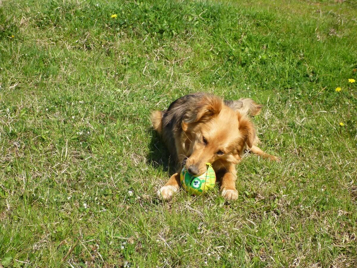 Mischlingshund auf Wiese kaut auf einem Ball