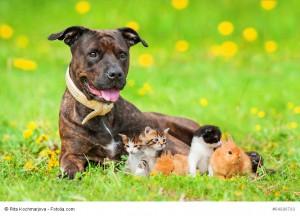 American Staffordshire Terrier mit Kätzchen und Häschen