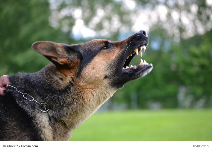 Seitliches Profil von bellendem Schaeferhund