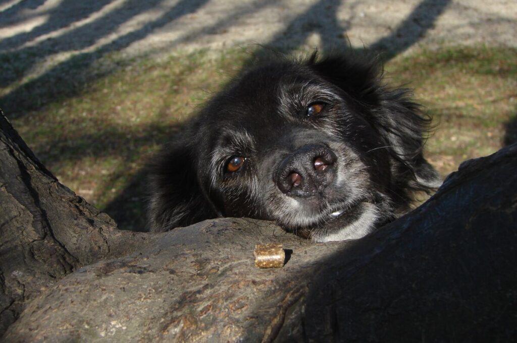 Ein Futterstück liegt auf einem Baum vor einem Hundekopf