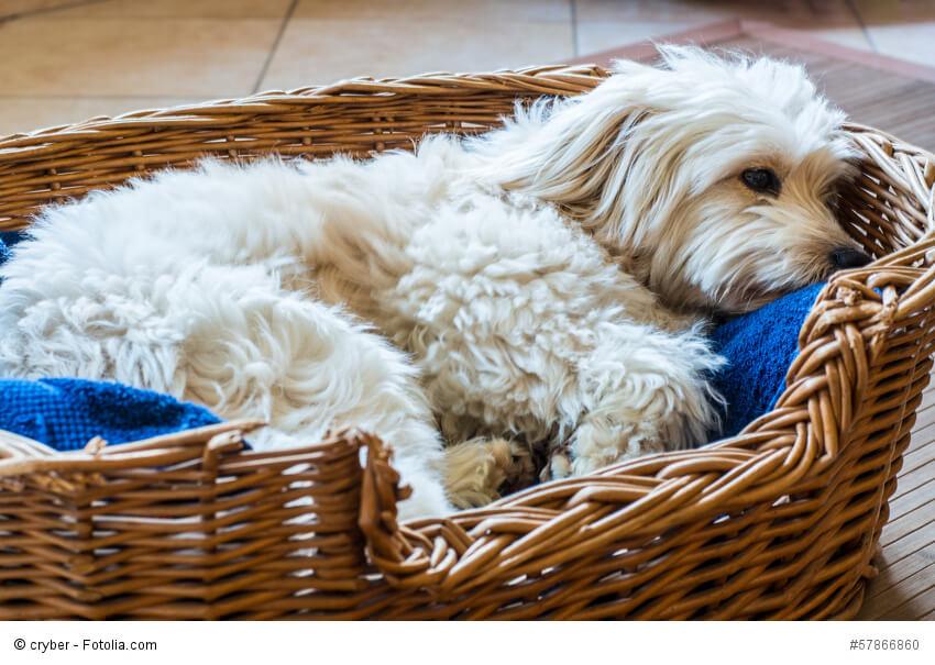 Weißer Hund liegt entspannt in seinem Körbchen.