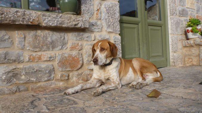 Braun-weißer Mischlingshund liegt unangeleint vor einem Haus