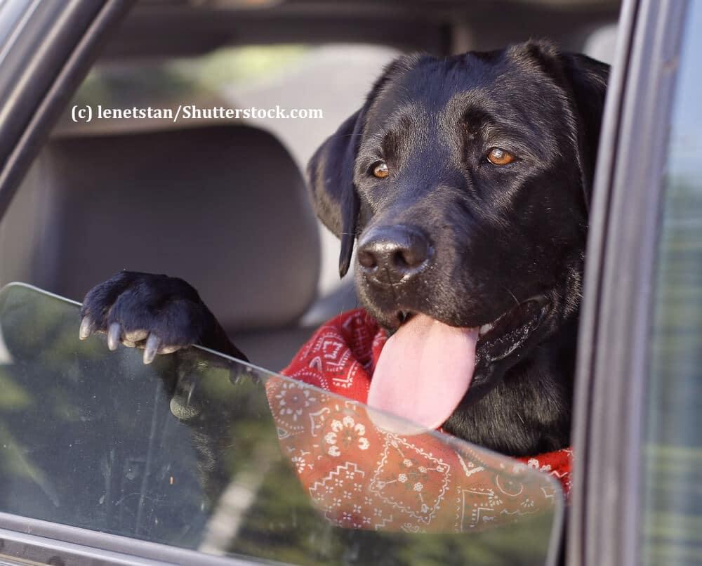 Ein Hund sitzt hechelnd an einem offenen Autofenster