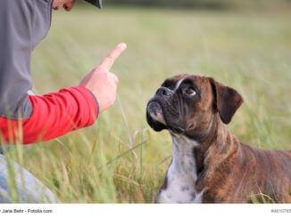 Ein Boxer schaut aufmerksam auf den erhobenen Zeigefinger seines Herrchen