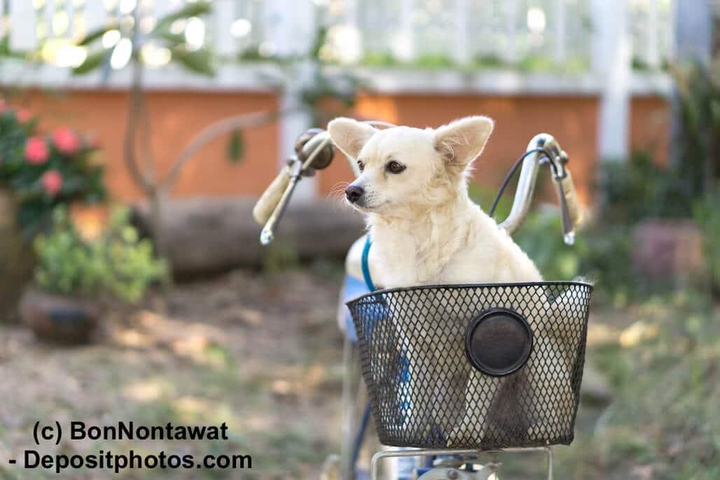 Ein weißer Hund sitzt in einem kleinen Korb am Lenker eines Fahrrades