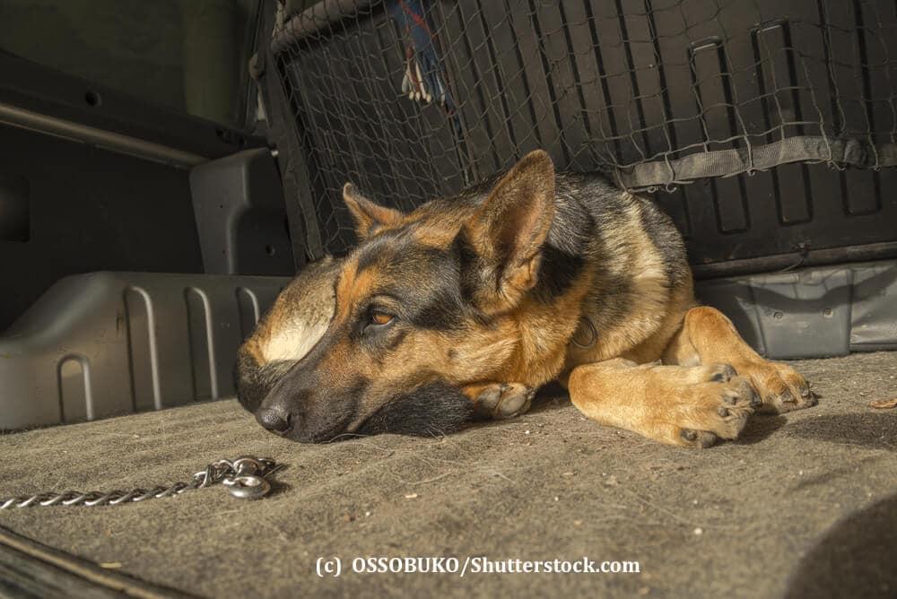 Ein deutscher Schäferhund liegt entspannt in einem Kofferraum