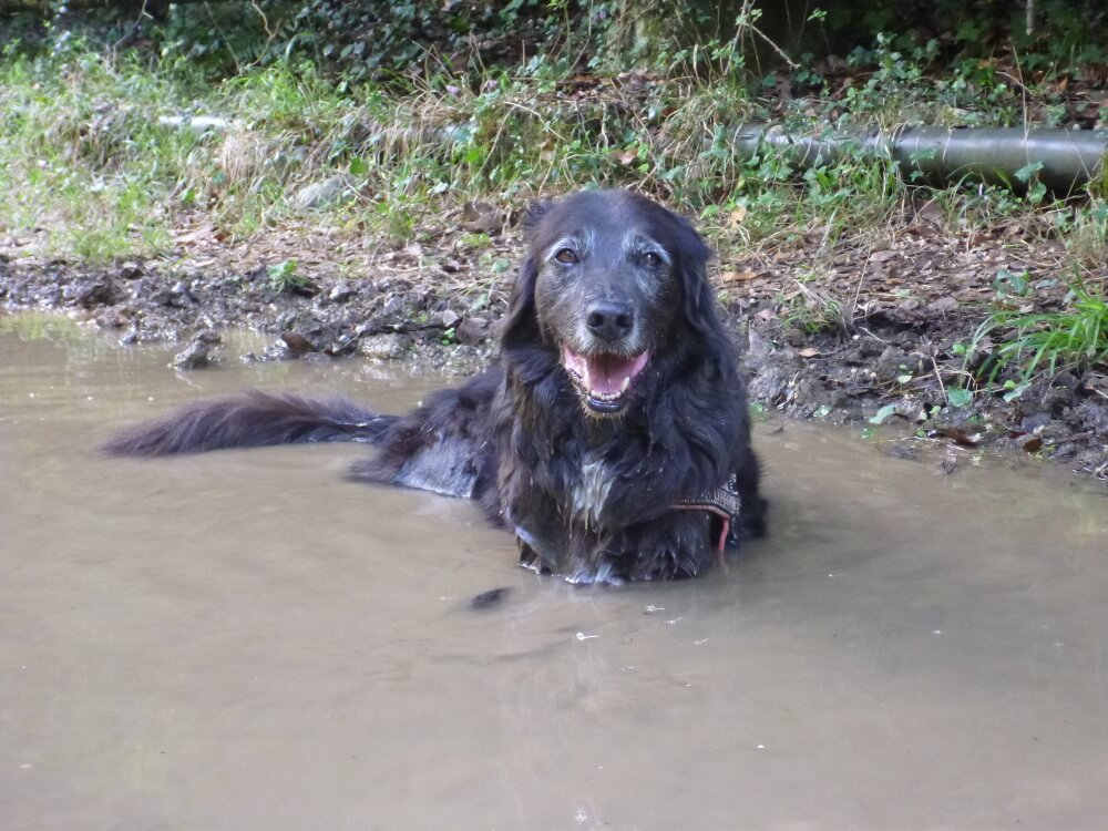 Schwarzer Hund liegt in Pfütze