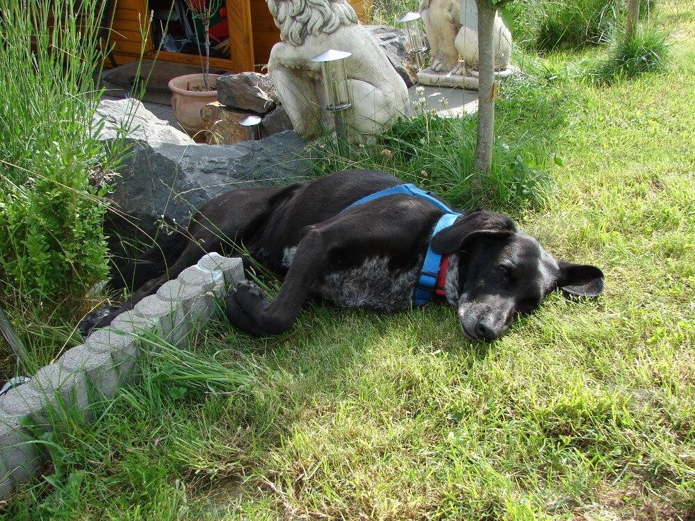 Mischlingshund liegt halb in einem Blumenbeet