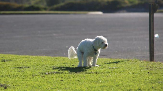 Weißer Hund macht einen Haufen auf eine Wiese