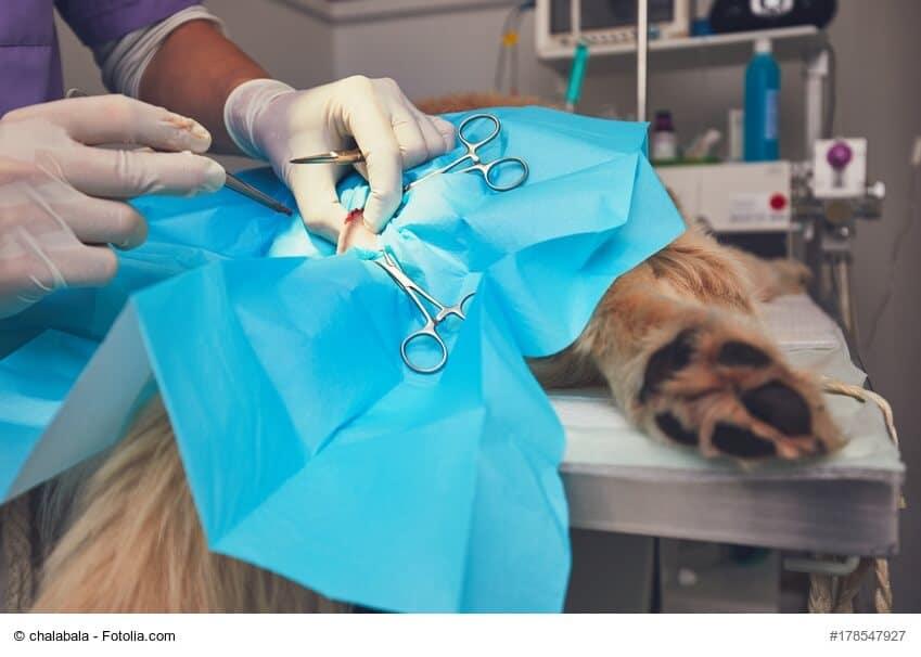 Ein Hund liegt abgedeckt auf einem Operationstisch, man sieht nur die Hinterpfoten und operierende Hände
