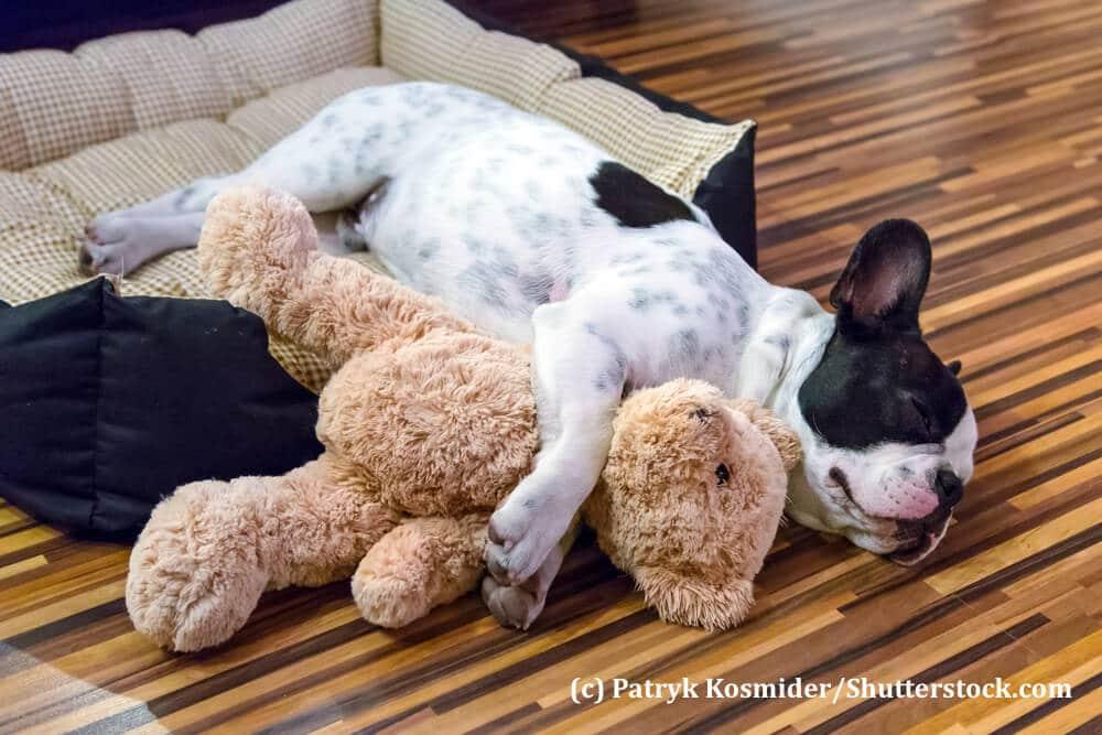 Eine französische Bulldogge schläft mit einem Kuscheltier im Arm
