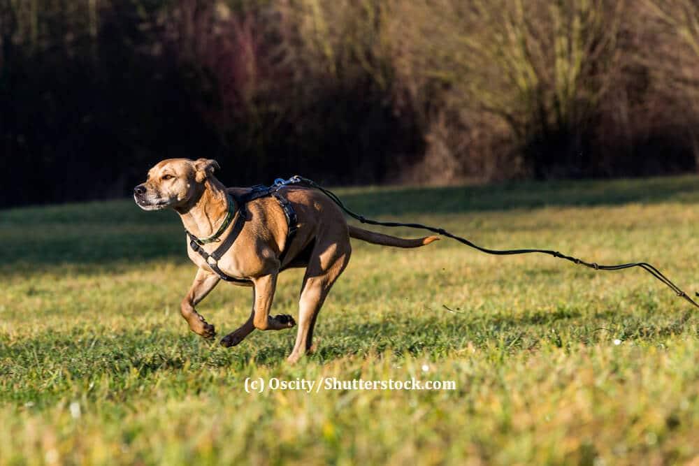 Ein Hund rennt mit seiner Schleppleine hinter sich über eine Wiese