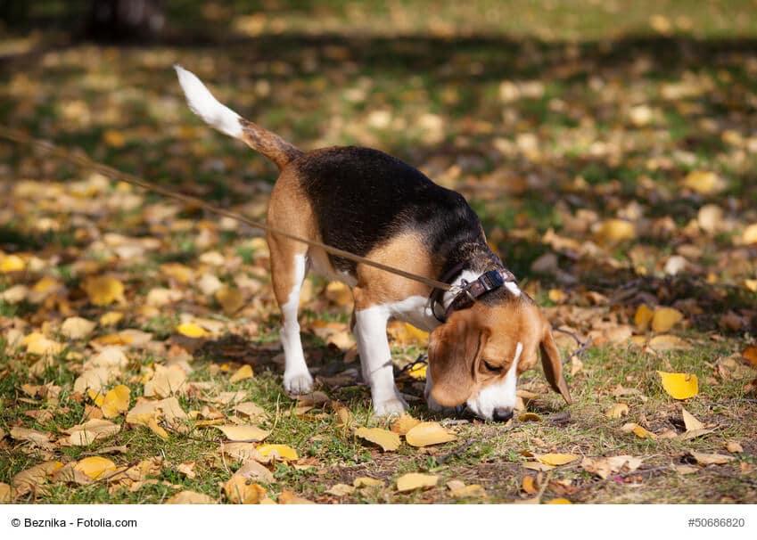 Ein Beagle an der Leine schnüffelt im Herbstlaub