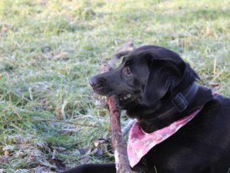 Ein schwarzer Labrador mit einem roten Halstuch liegt auf einer Wiese mit einem großen Stock im Maul