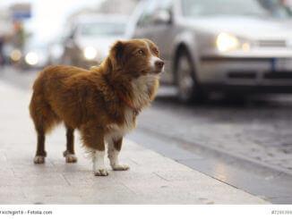 Ein kleiner rotbrauner Hund steht an einer Straße im Hintergrund fahren Autos