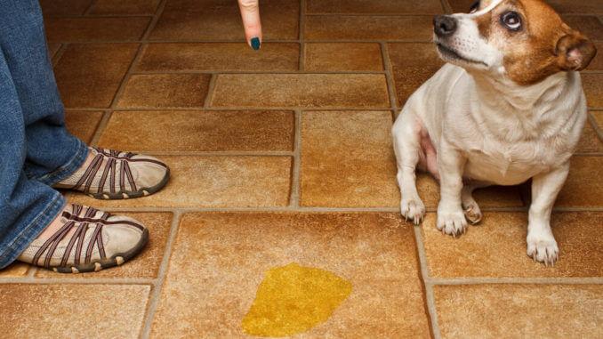 Eine Pfütze auf dem Boden und daneben ein schuldbewusster Hund