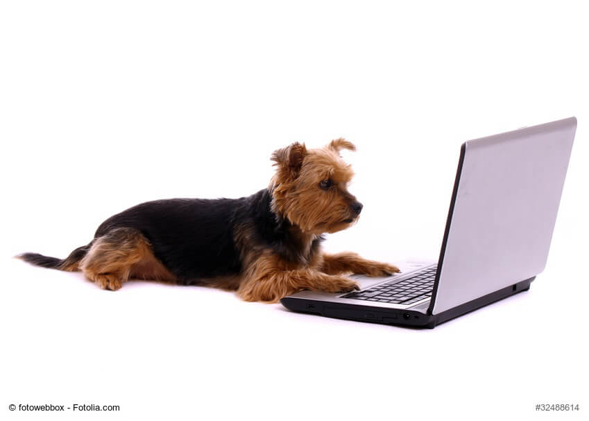 liegender Yorkshire Terrier mit Laptop