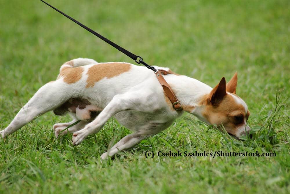 Ein kleiner Hund zieht wie verrückt an der Leine zu einem Grasbüschel hin
