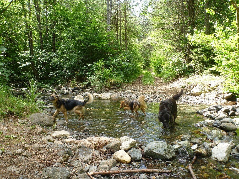 Drei Hunde in einem Bach