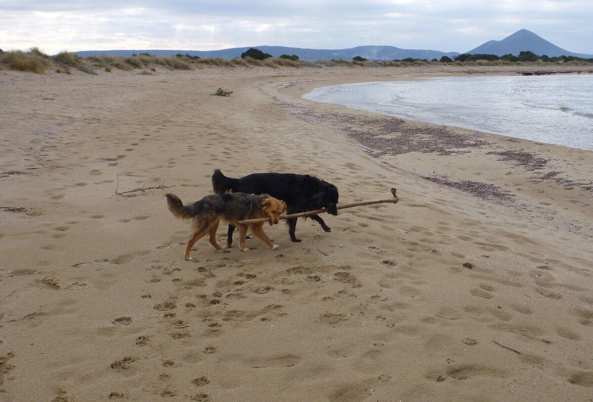 Zwei Mischlingshunde tragen zusammen einen Stock am Strand