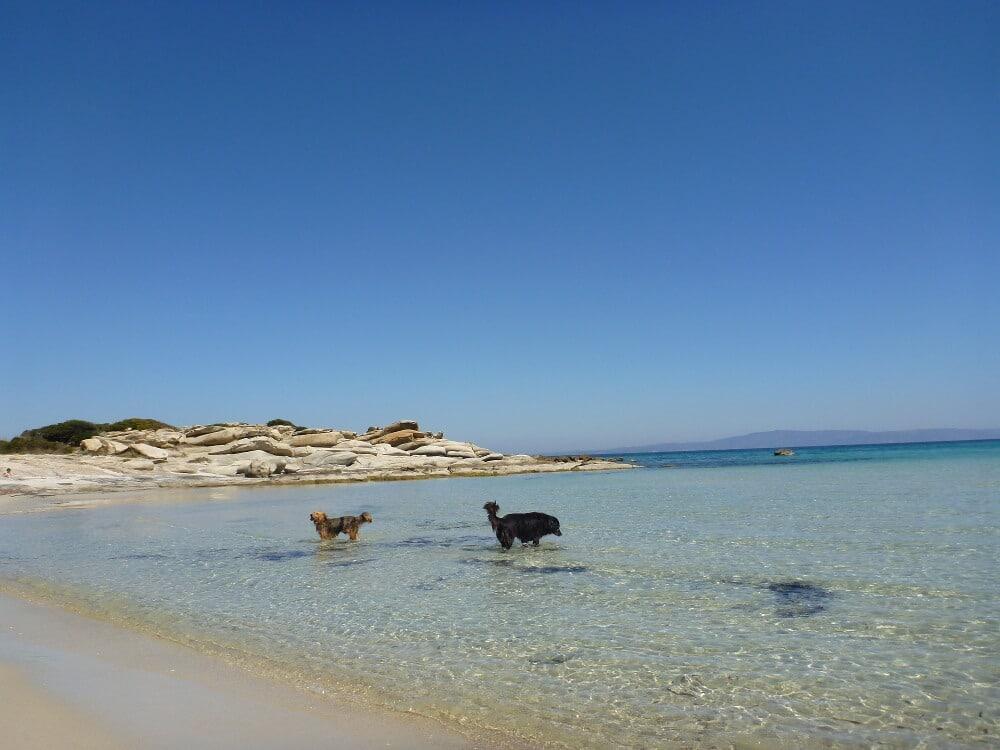 Zwei Hunde laufen im glasklaren Meerwasser