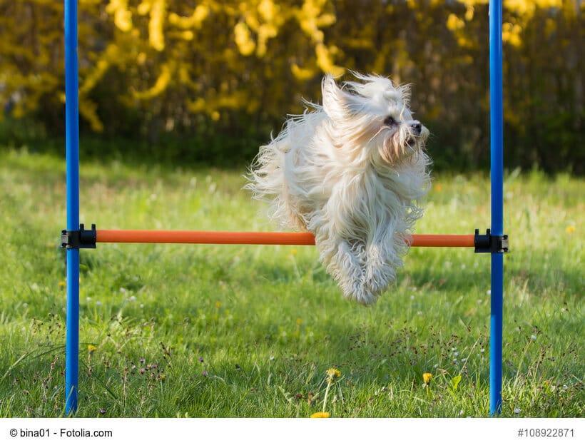 Ein Havaneser Hund springt über eine niedrige Hürde