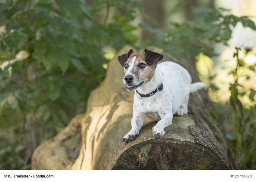 Jack Russel macht Platz auf einem Baumstamm