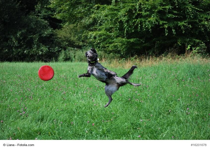 Hund beim Fangen einer Frisbee