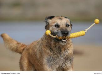 Beiger Mischling mit Spielzeug für Hunde am Strand