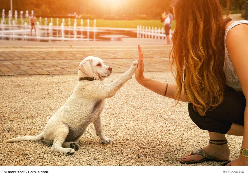 Beiger Labradorwelpe gibt einer Frau die Pfote