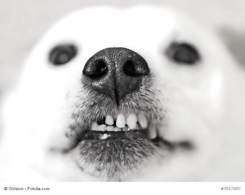 Schwarzweiß Foto einer Hundeschnauze mit gebleckten Zähnen