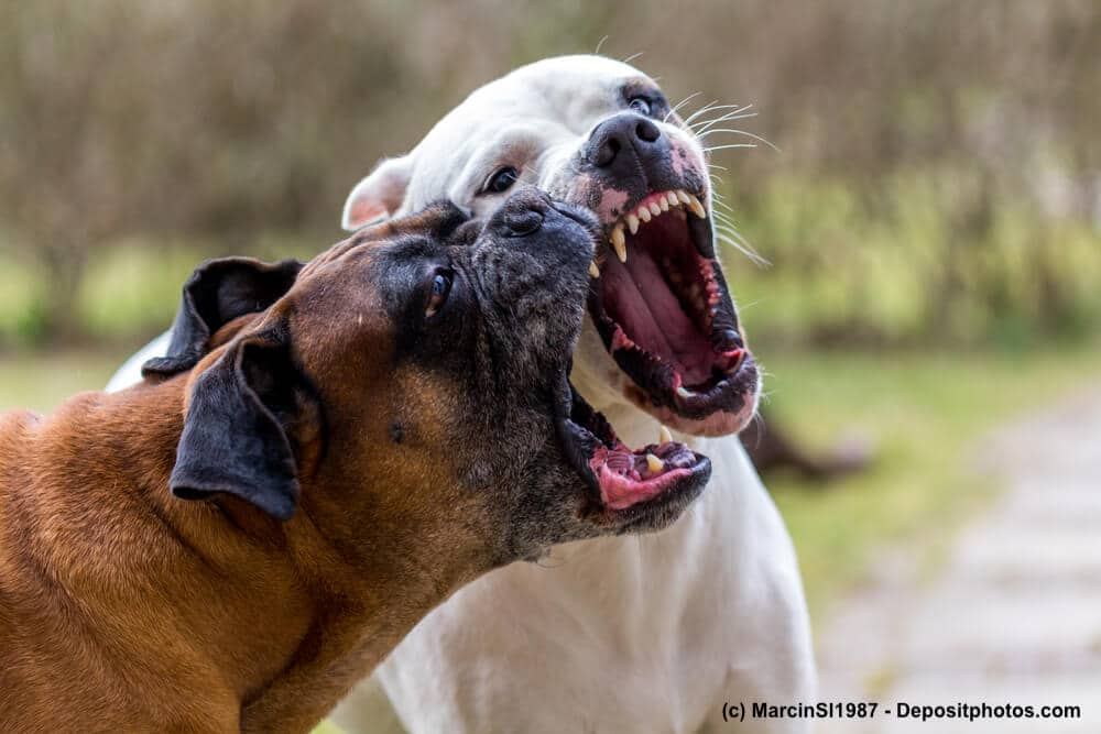 Zwei Hunde reissen beim Spielen die Mäuler auf und man sieht ihr beeindruckendes Gebiss