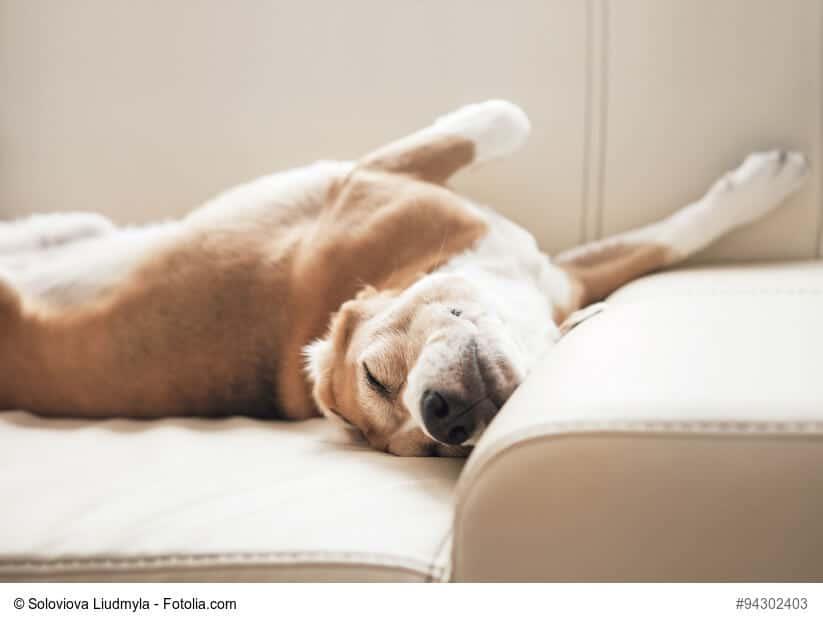 Hund liegt verdreht auf dem Rücken auf einem hellen Sofa