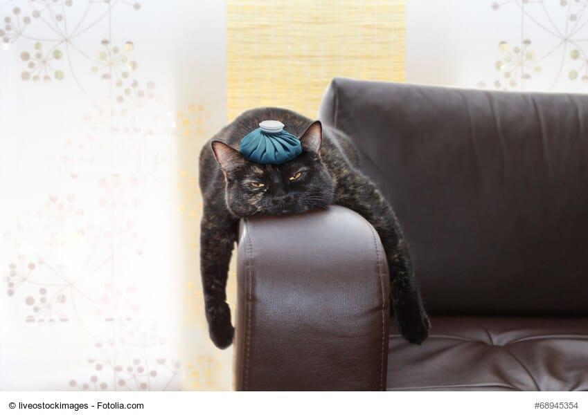 Infektionskrankheiten bei Katzen erkennen