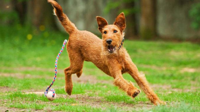 Irish Terrier gehören in die Sektion 1 der Hochläufigen Terrier