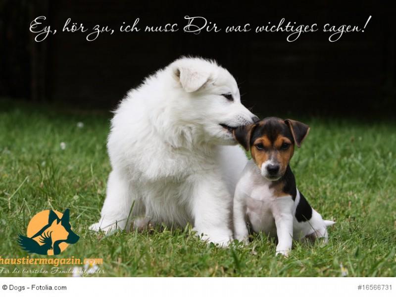 berger blanc et parsan jack russell terrier amis