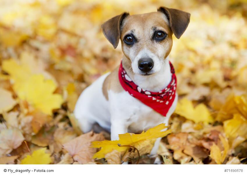 hunderassen jack russell terrier kaufen