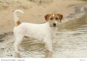 Jack Russell Terrier gibt es mit rauem und glattem Fell.