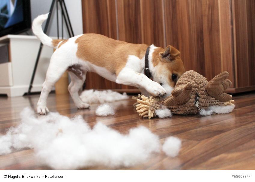 Ohne Erziehung und Beschäftigung zerlegt ein Jacky mehr als sein Stofftier
